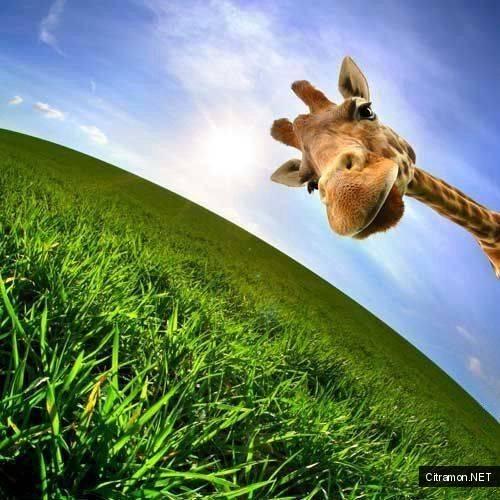 Сколько нужно гектаров, чтобы прокормить жирафа?